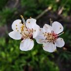 Цветы весны 2